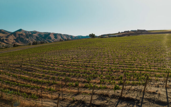 New vineyards in the summer sun